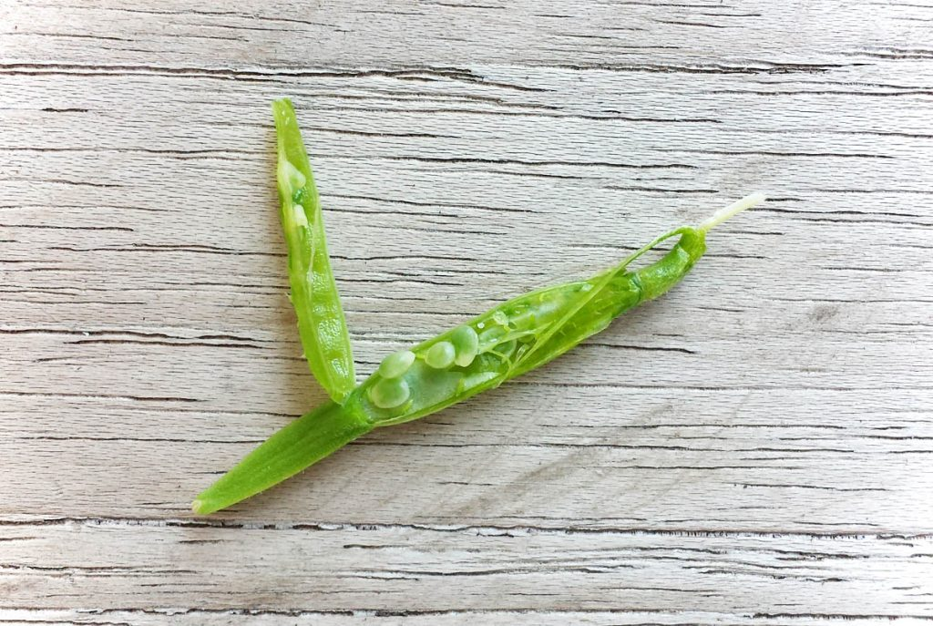 Rucola Samen unreif in der Samenkapsel