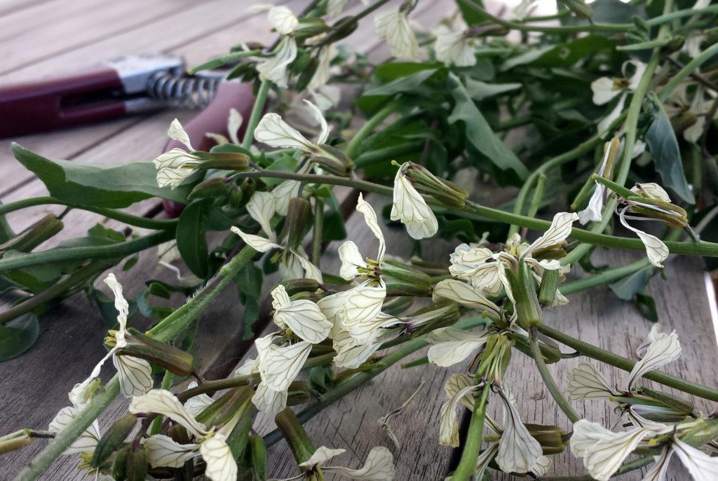 Blühender Rucola - eine zarte Delikatesse