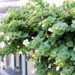 GRÜNELIEBE Dünge-Projekt Teil 3 - COMPO Bio Kübel- und Balkonpflanzendünger mit Schafwolle