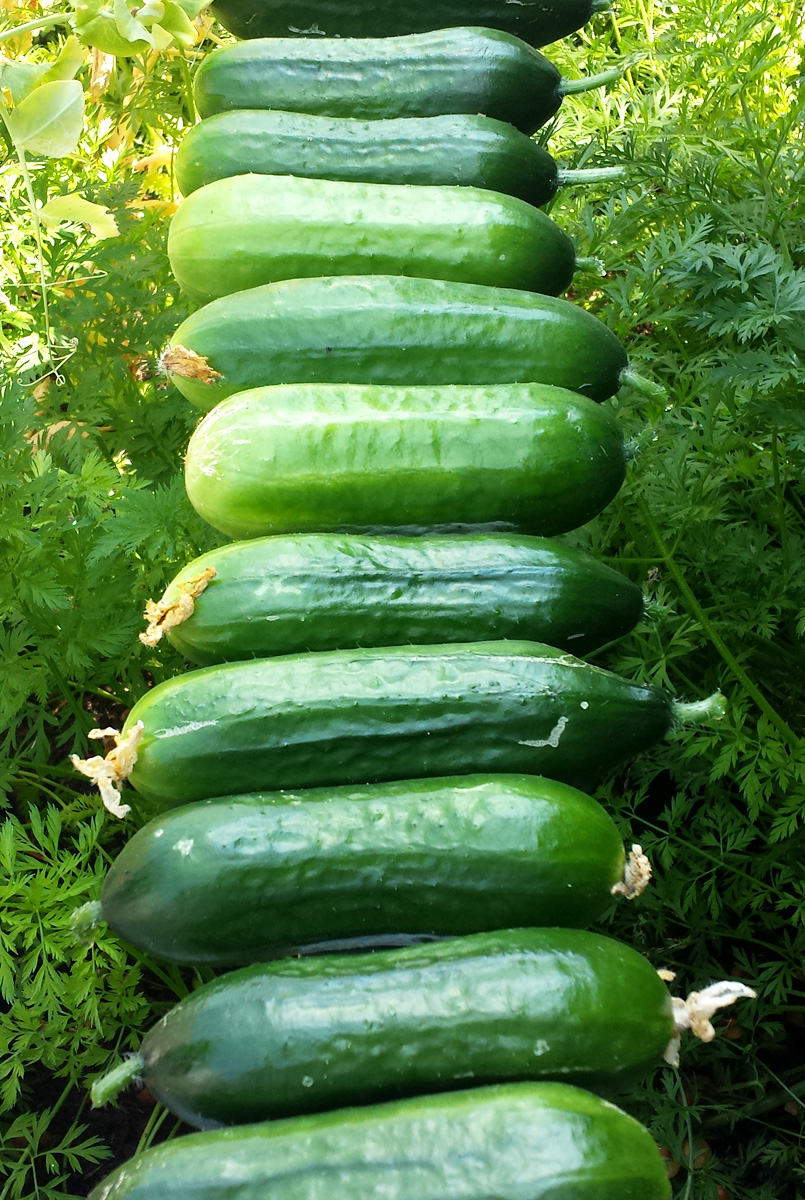 Snackgurken - Gurke anbauen im Garten und auf dem Balkon