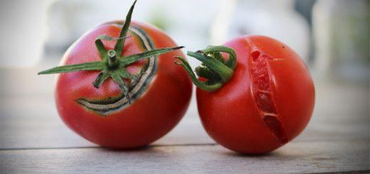 Tomaten platzen durch Regen und Sonne