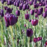 Mit Tulpen gestalten - Tulpen Queen of the Night