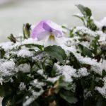 IceBabies mit Schneehaube
