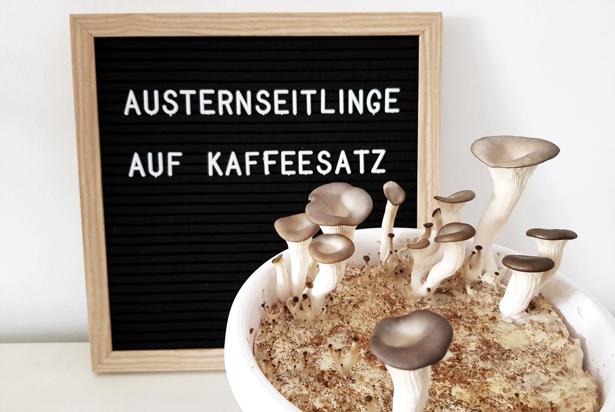 Austernseitlinge auf Kaffeesatz DIY