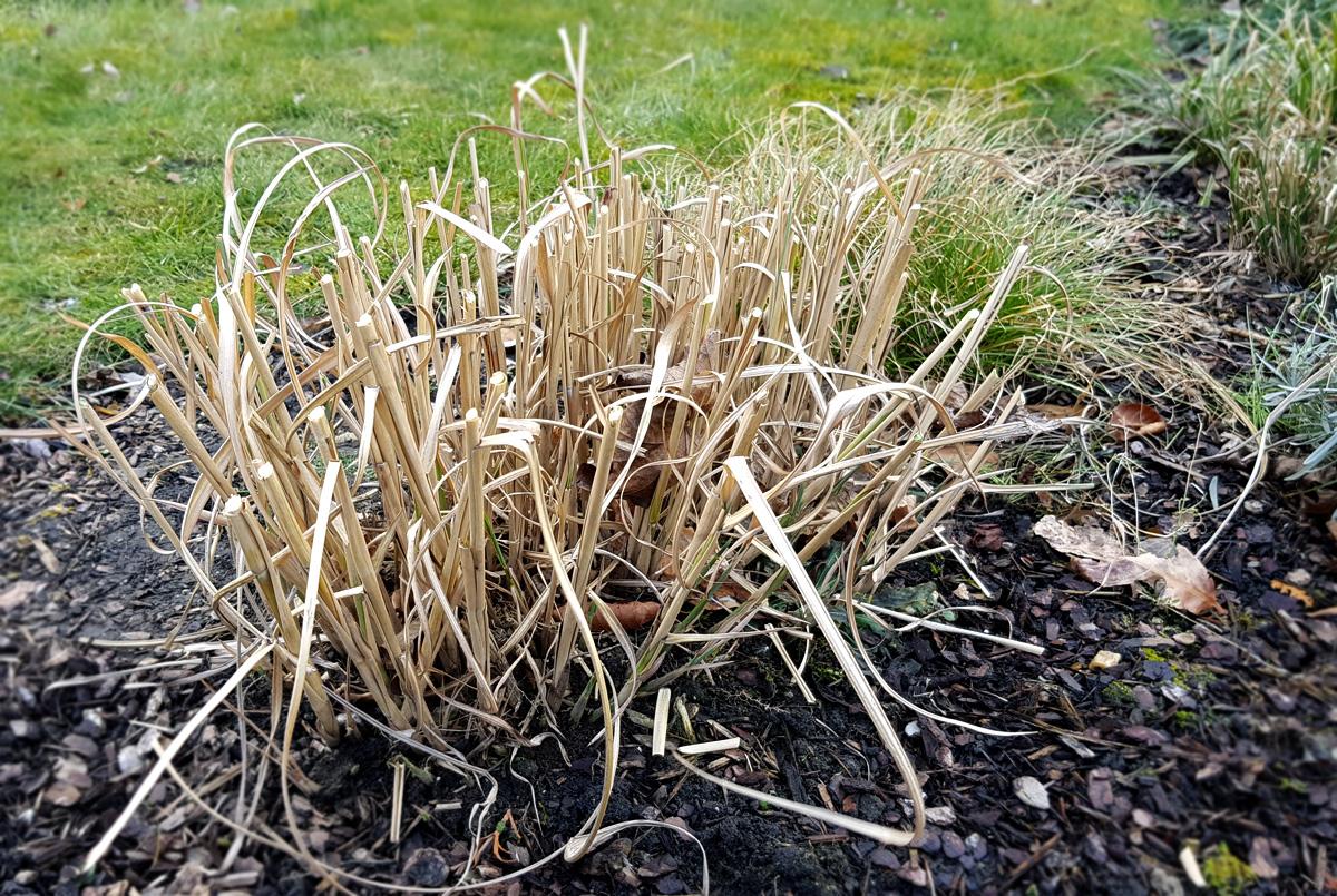 Chinaschilf Frühjahrsschnitt - Gräser schneiden
