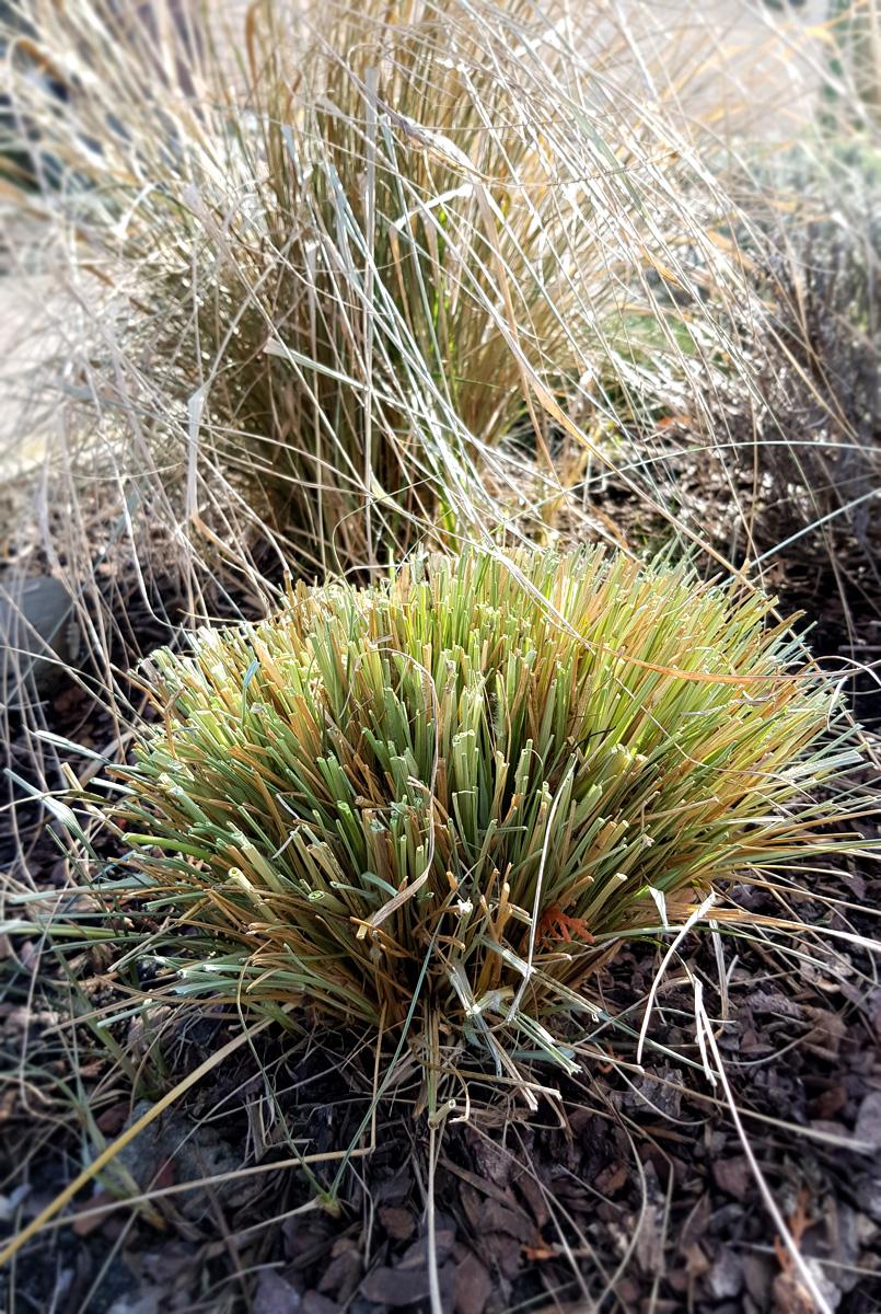 Gräser schneiden im Frühjahr - Lampenputzergras