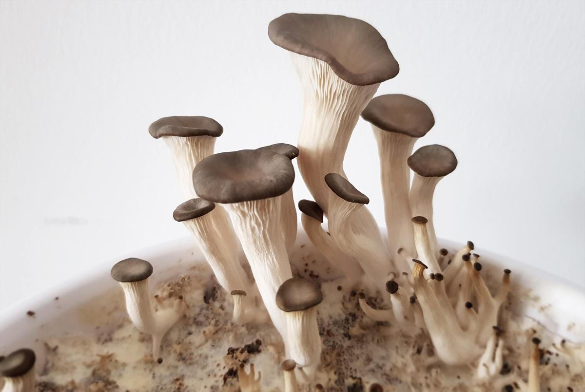 Pilze selber züchten Austernpilze auf Kaffeesatz