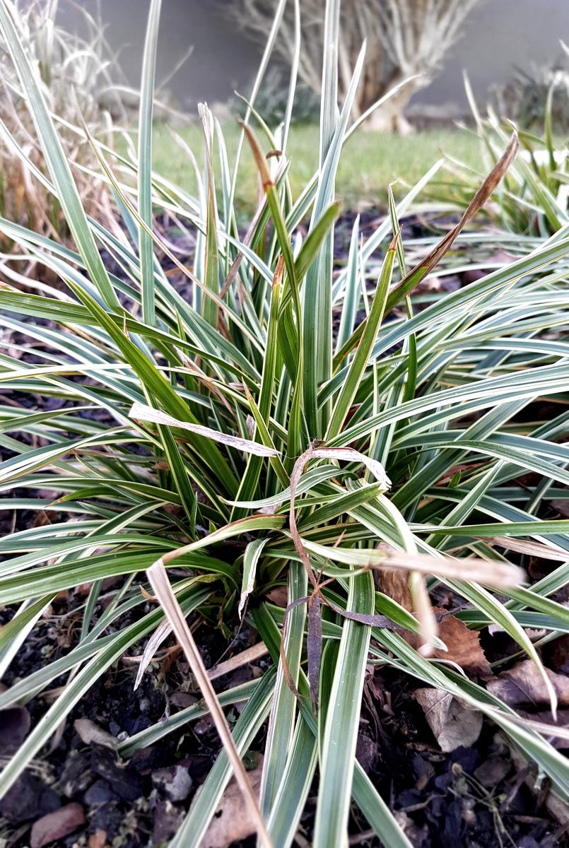 Wintergrüne Gräser Segge