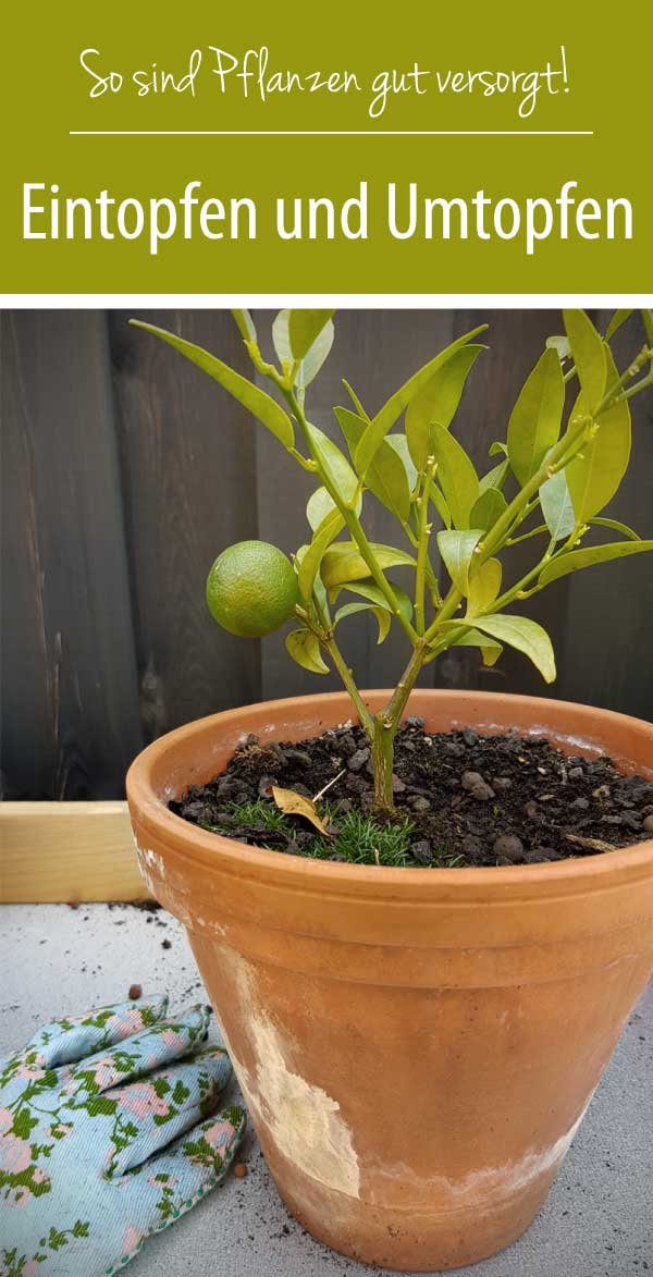 Eintopfen-und-Umtopfen-so-sind-Pflanzen-gut-versorgt
