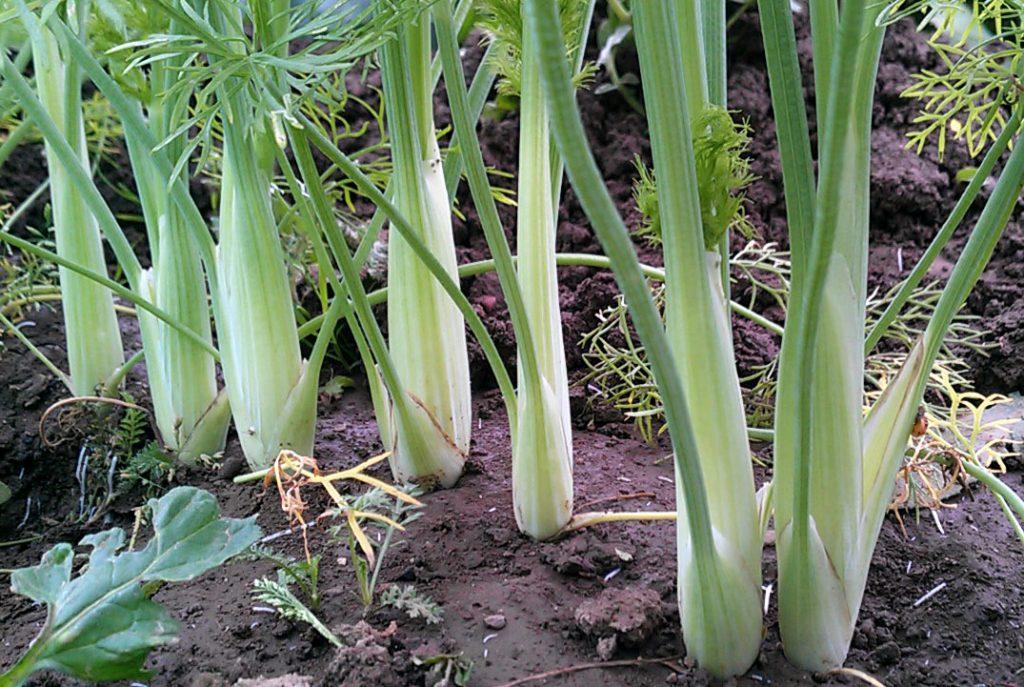 Fenchel anbauen - Jungpflanzen vereinzeln