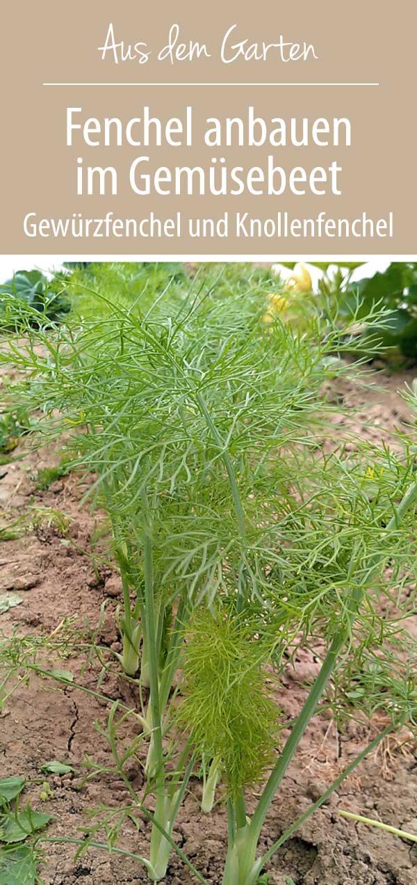 Fenchel anbauen im Garten - Gewürzfenchel oder Knollenfenchel