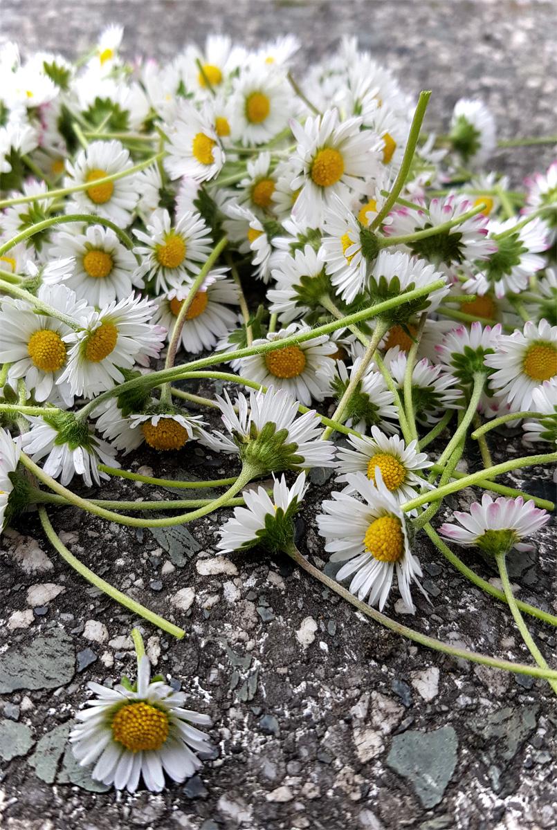 Gänseblümchen sammeln für Gänseblümchensirup