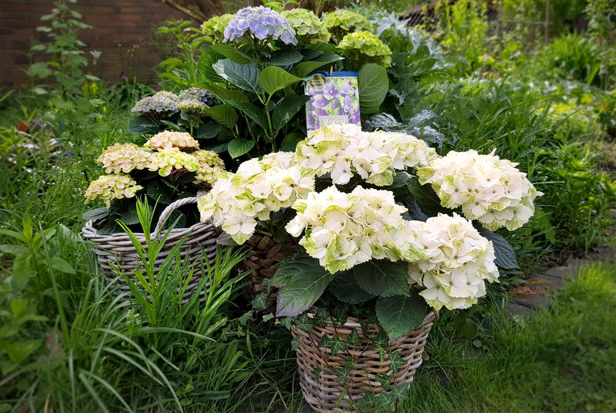 Gartenhortensie Magical Hortensia