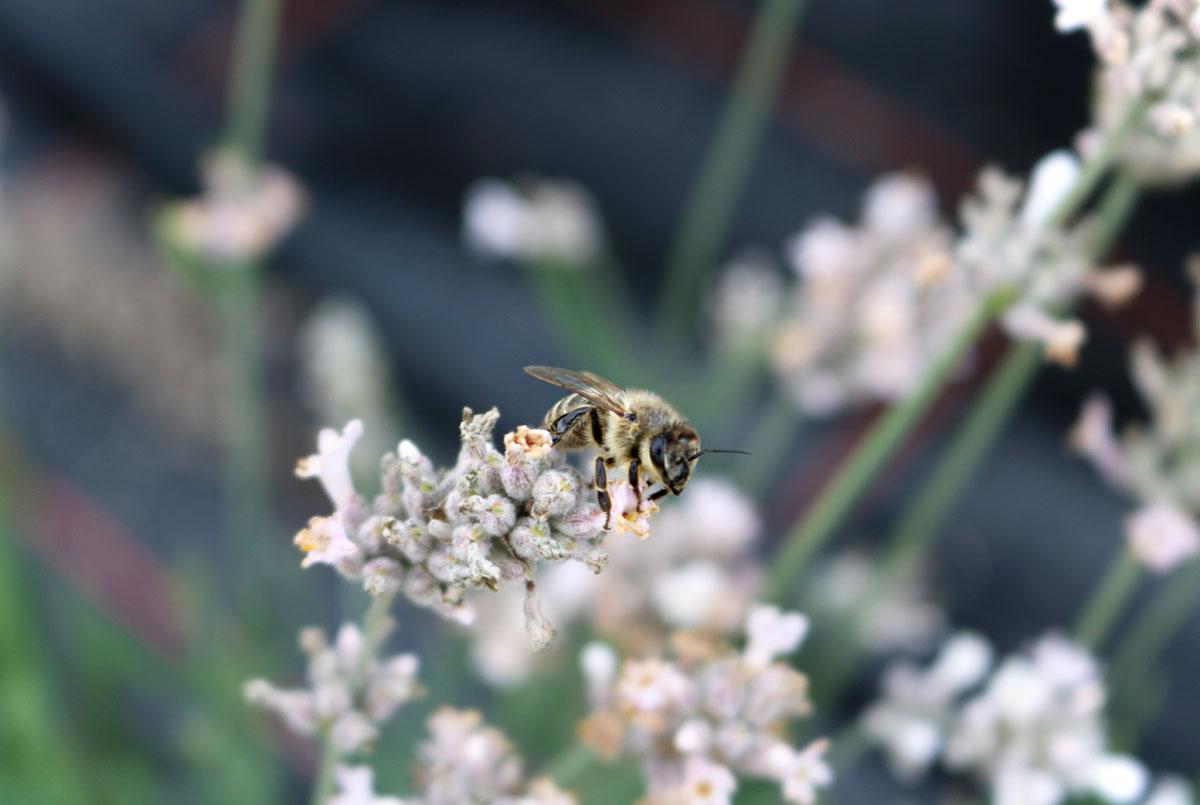 Insektengiftallergie Biene