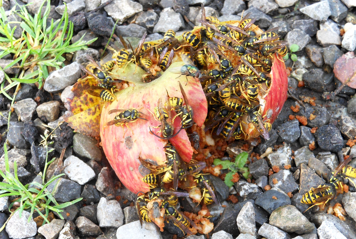 Insektengiftallergie Wespen