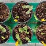 Kürbis und Zucchini Anzucht im April