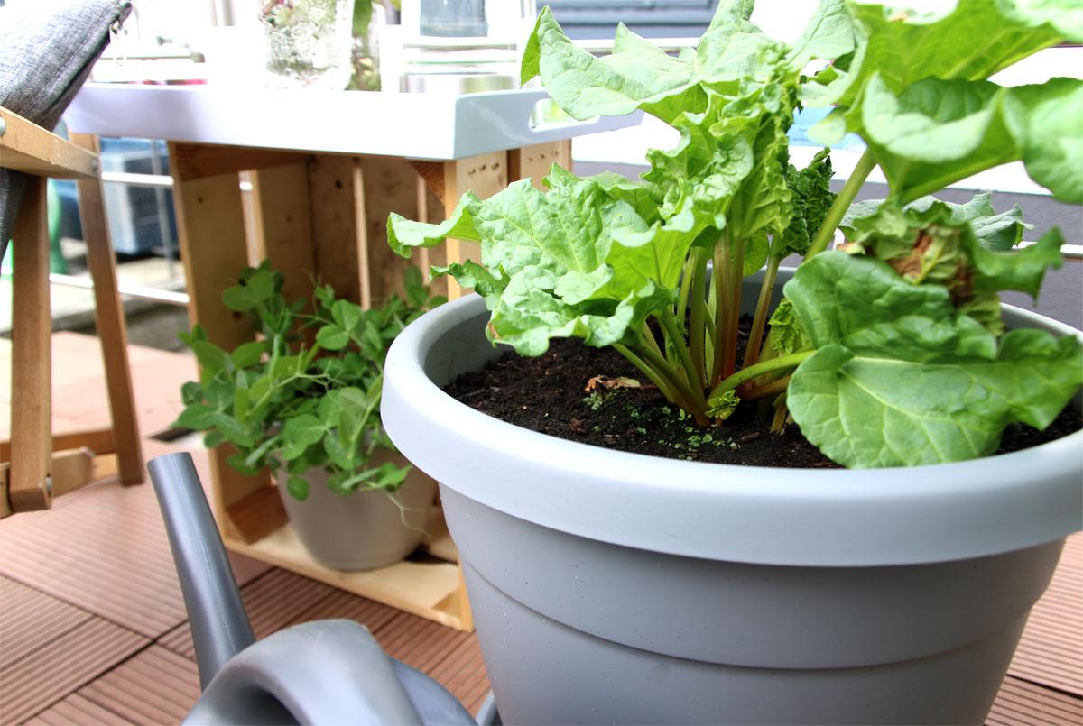 Rhabarber auf dem Balkon Grüneliebe City Garden