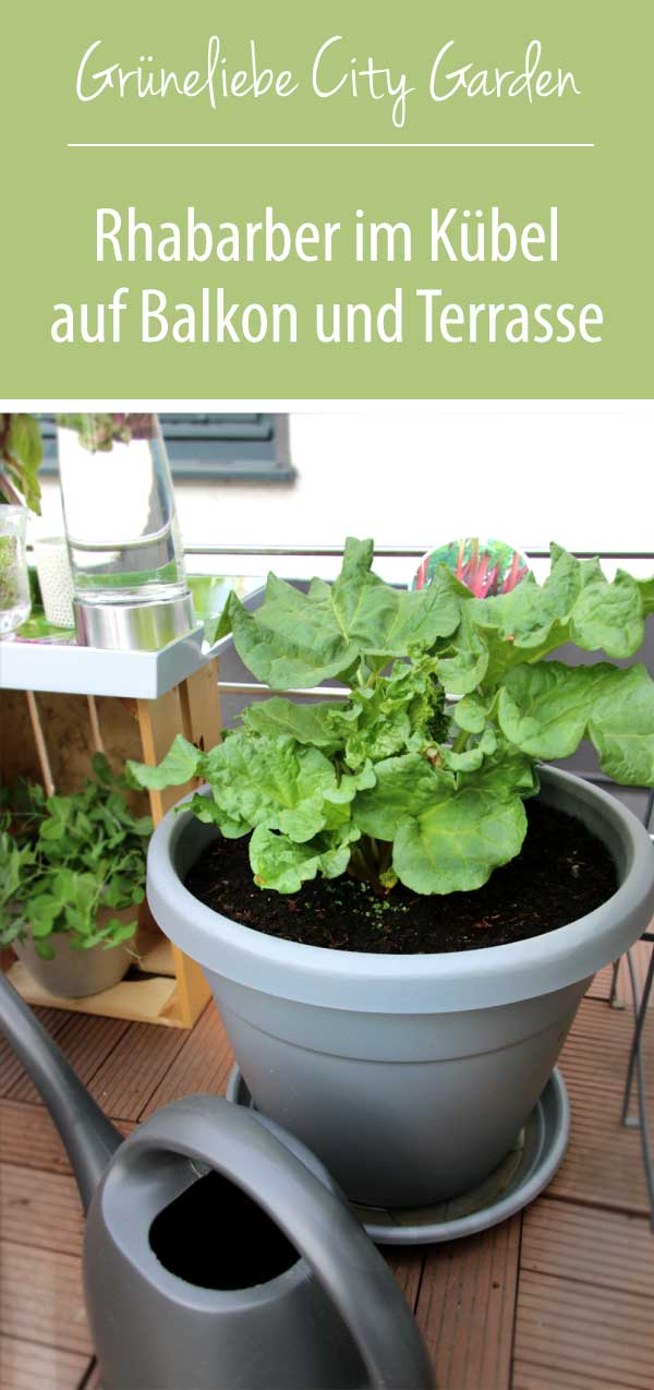 Rhabarber im Kübel pflanzen für Balkon und Terrasse