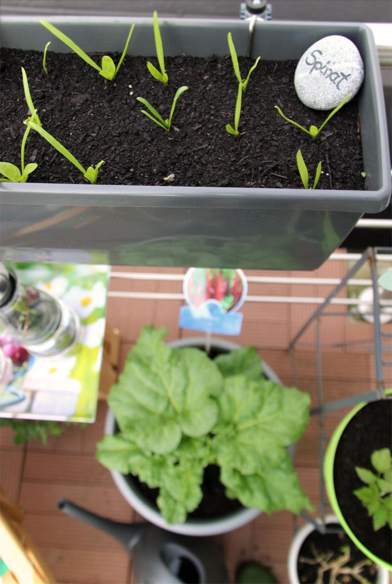 Spinat und Rhabarber auf dem Balkon Grüneliebe City Garden