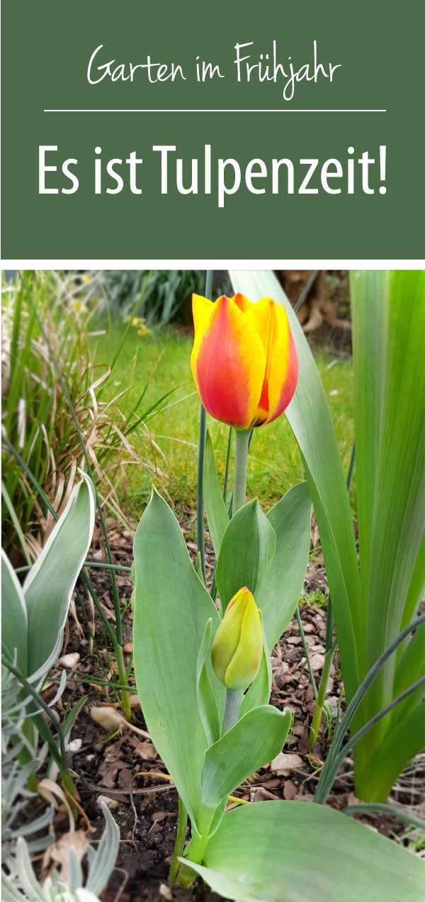 Tulpenzeit - Frühjahr im Garten - Es ist Tulpenzeit