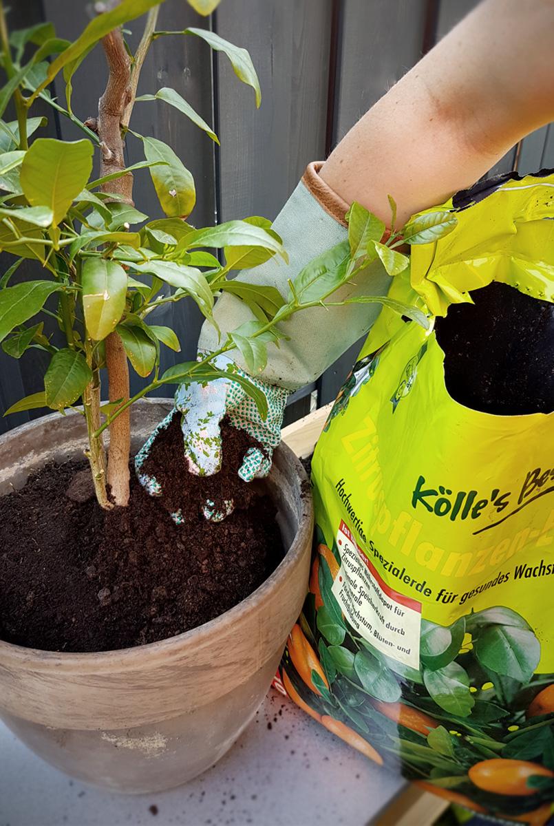 Umtopfen und Eintopfen Pflanzen Kölle