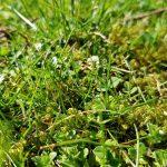 verunkrauteter Rasen Frischekur Rasendüngung