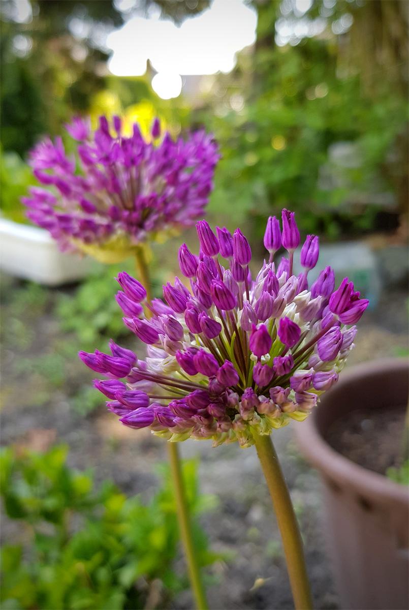 Allium Blüten Zierlauch