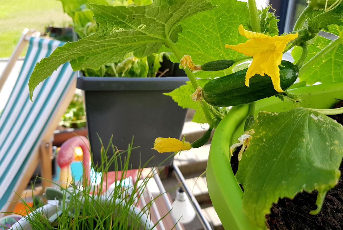 Gurke auf dem Balkon Grüneliebe City Garden mit EMSA