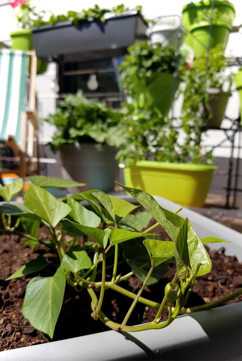 Süßkartoffel im Kübel Grüneliebe City Garden Emsa