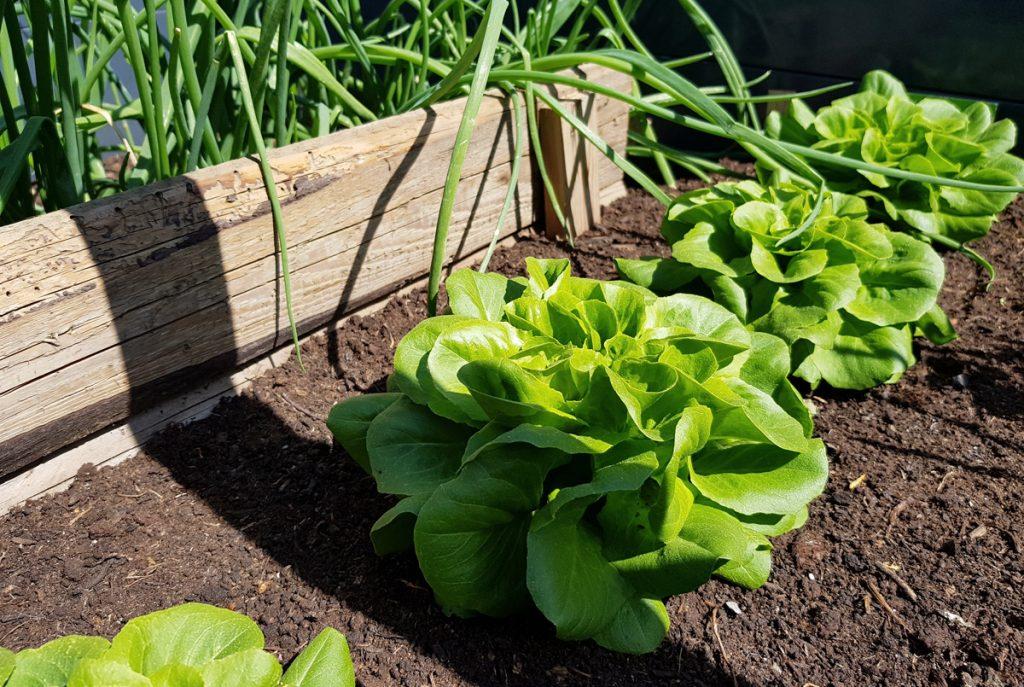 Salat im Hochbeet - Der Garten im Mai