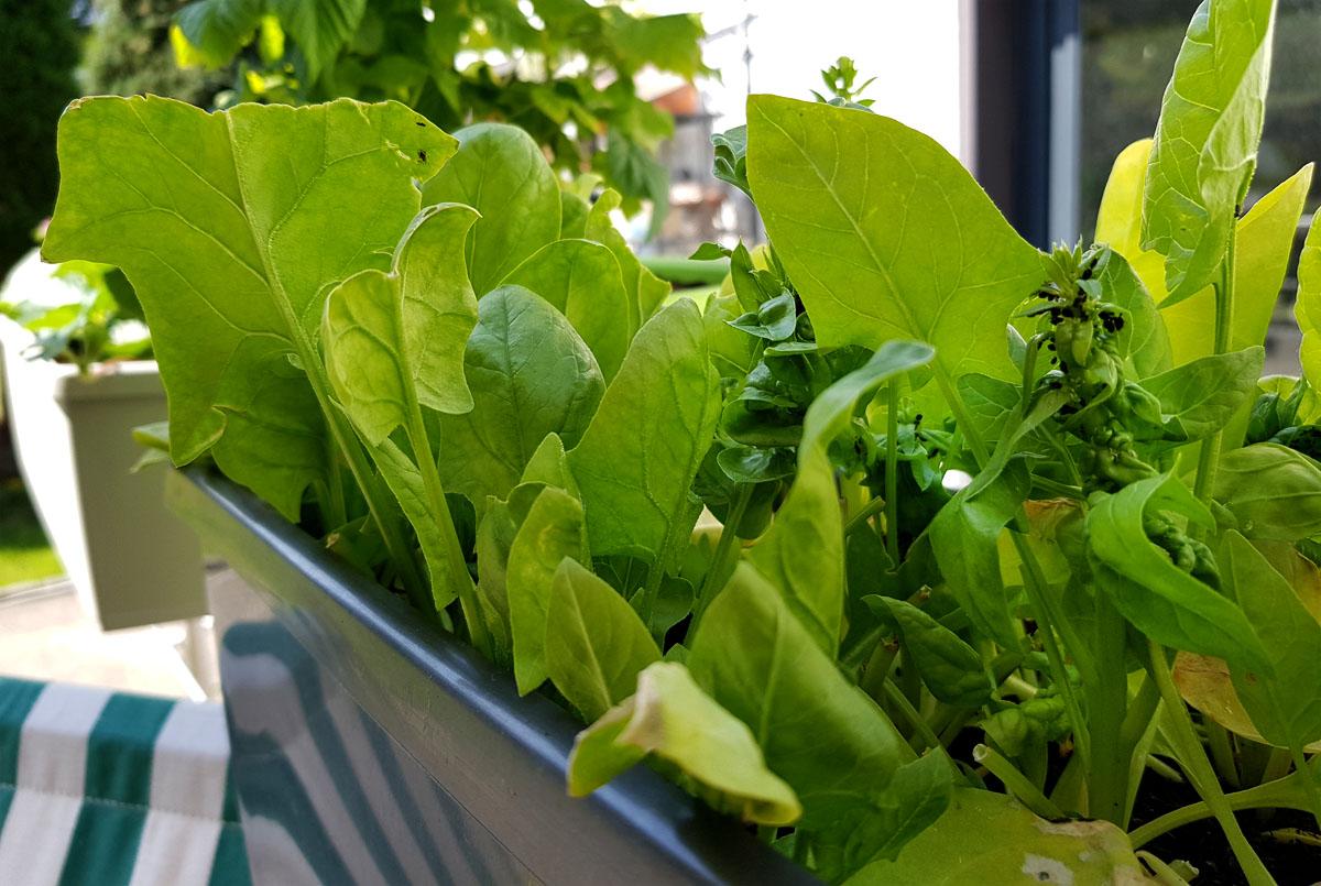 Spinat im Balkonkasten - Blattläuse am Spinat