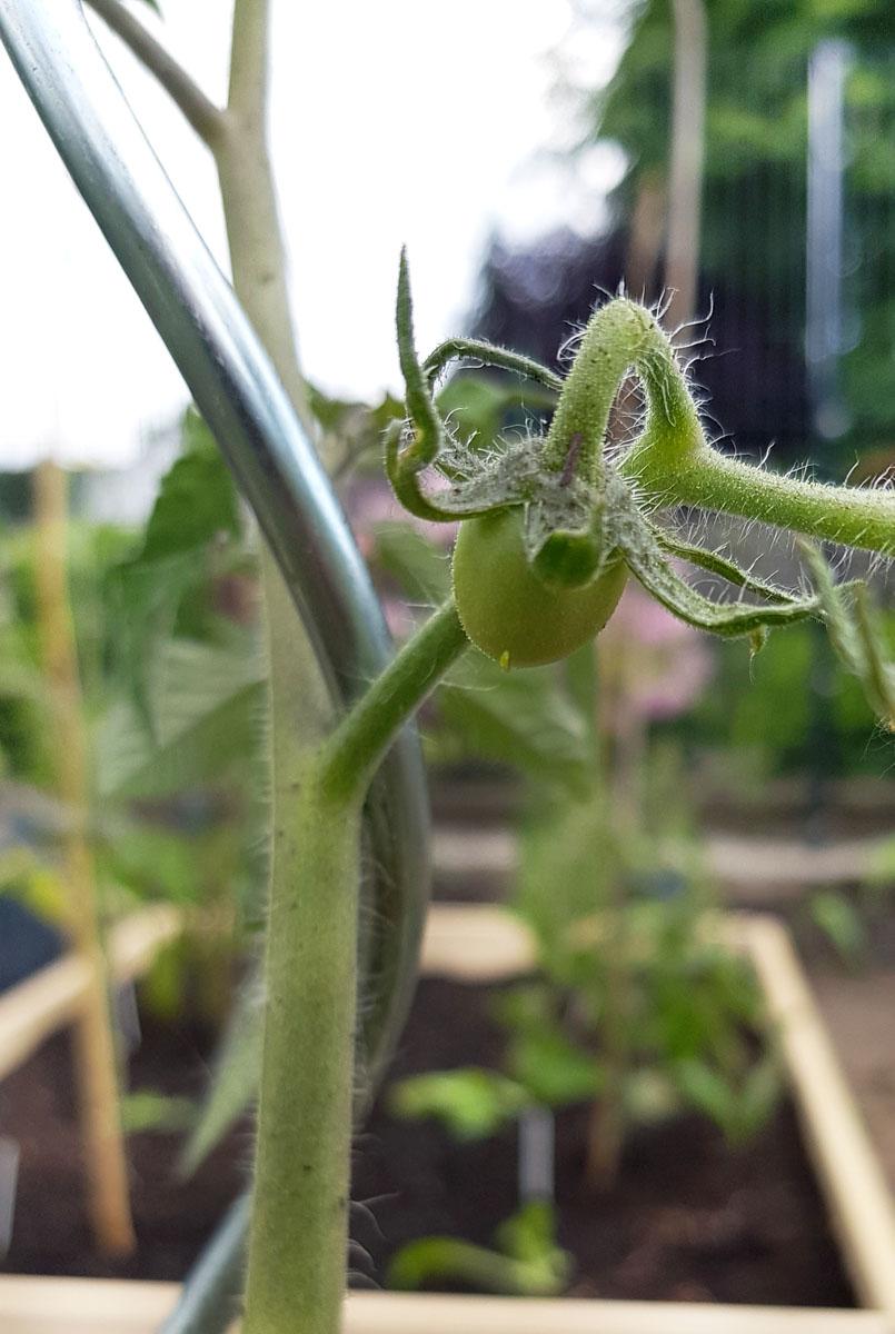 Tomate Fruchtansatz