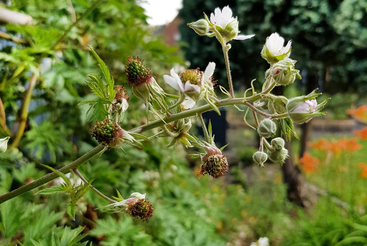 Brombeerren - Garten im Mai
