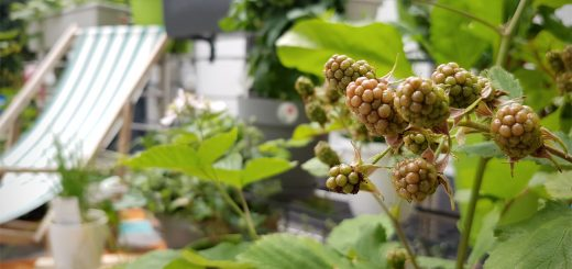 Brombeeren Obstgarten auf dem Balkon EMSA Grüneliebe City Garden