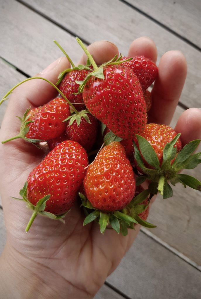 Erdbeeren Obstgarten auf dem Balkon EMSA Grüneliebe City Garden