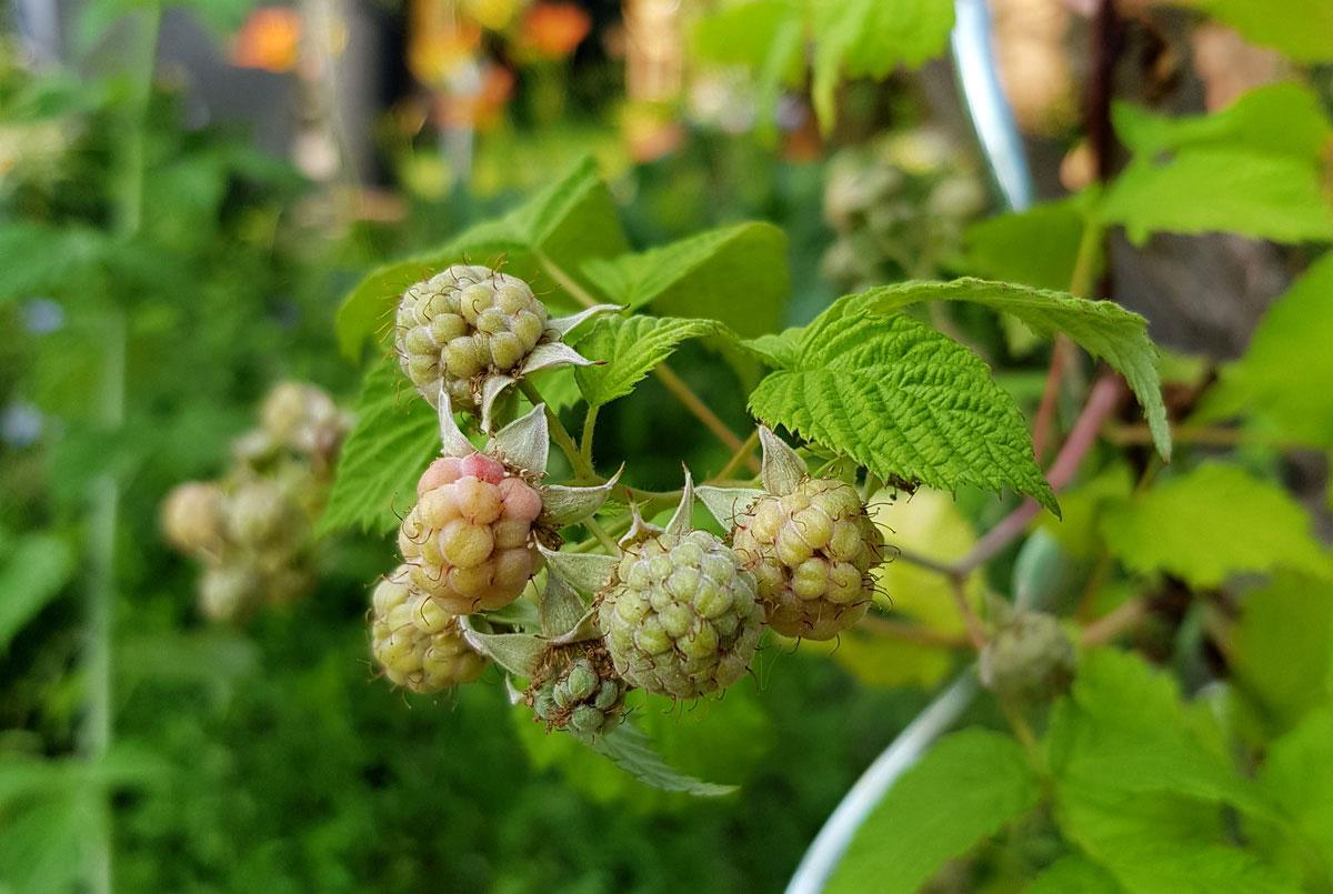 Himbeeren - Garten im Mai