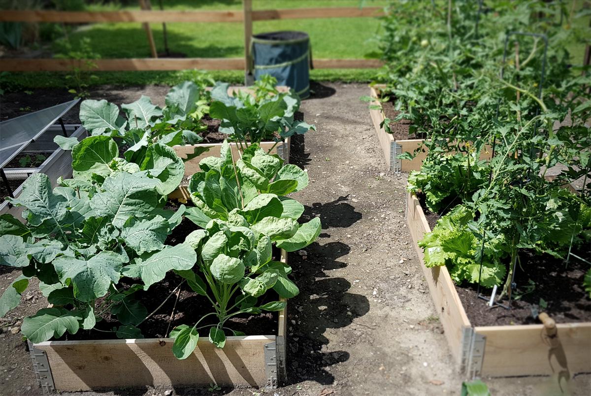 Kohlbeet im Gemüsegarten