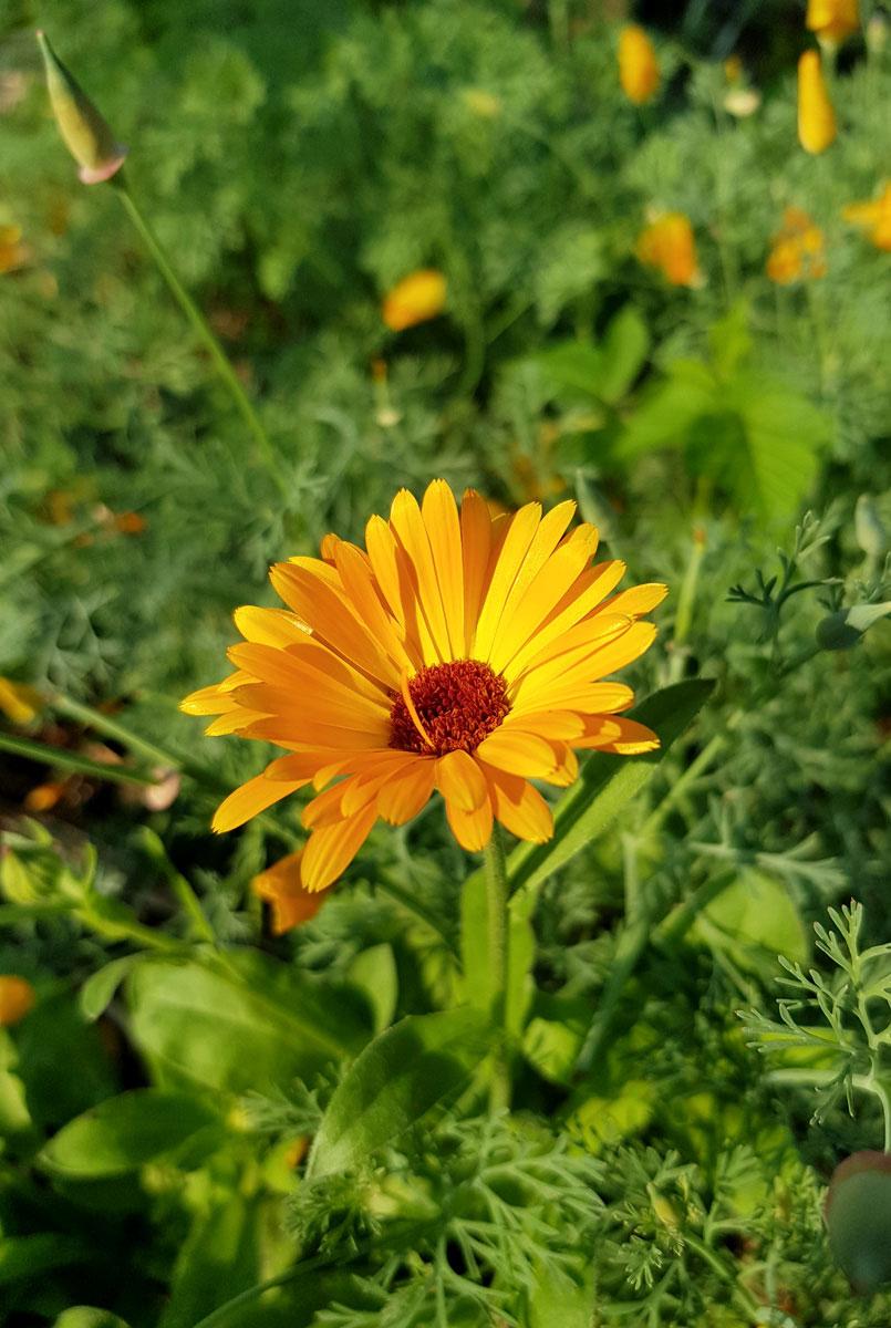 Ringelblume - Garten im Mai