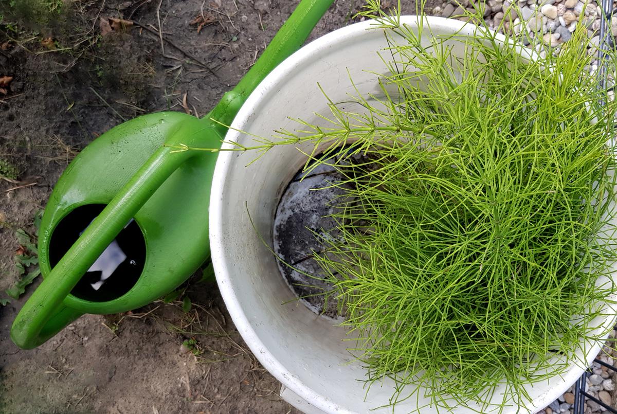 Ackerschachtelhalm zur Pflanzenstärkung - Jauche herstellen
