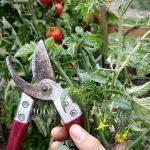 Tomatenblüten abschneiden im Spätsommer   Pflanzenpflege