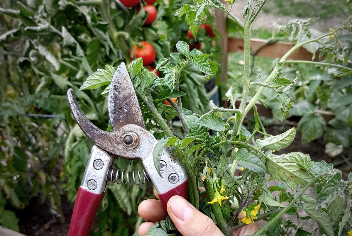 Tomatenblüten abschneiden im Spätsommer | Pflanzenpflege