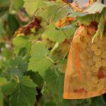 Weintrauben vor Wespen schützen