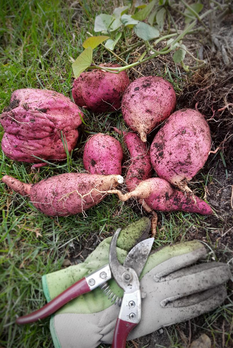 Süßkartoffel Ernte im Oktober
