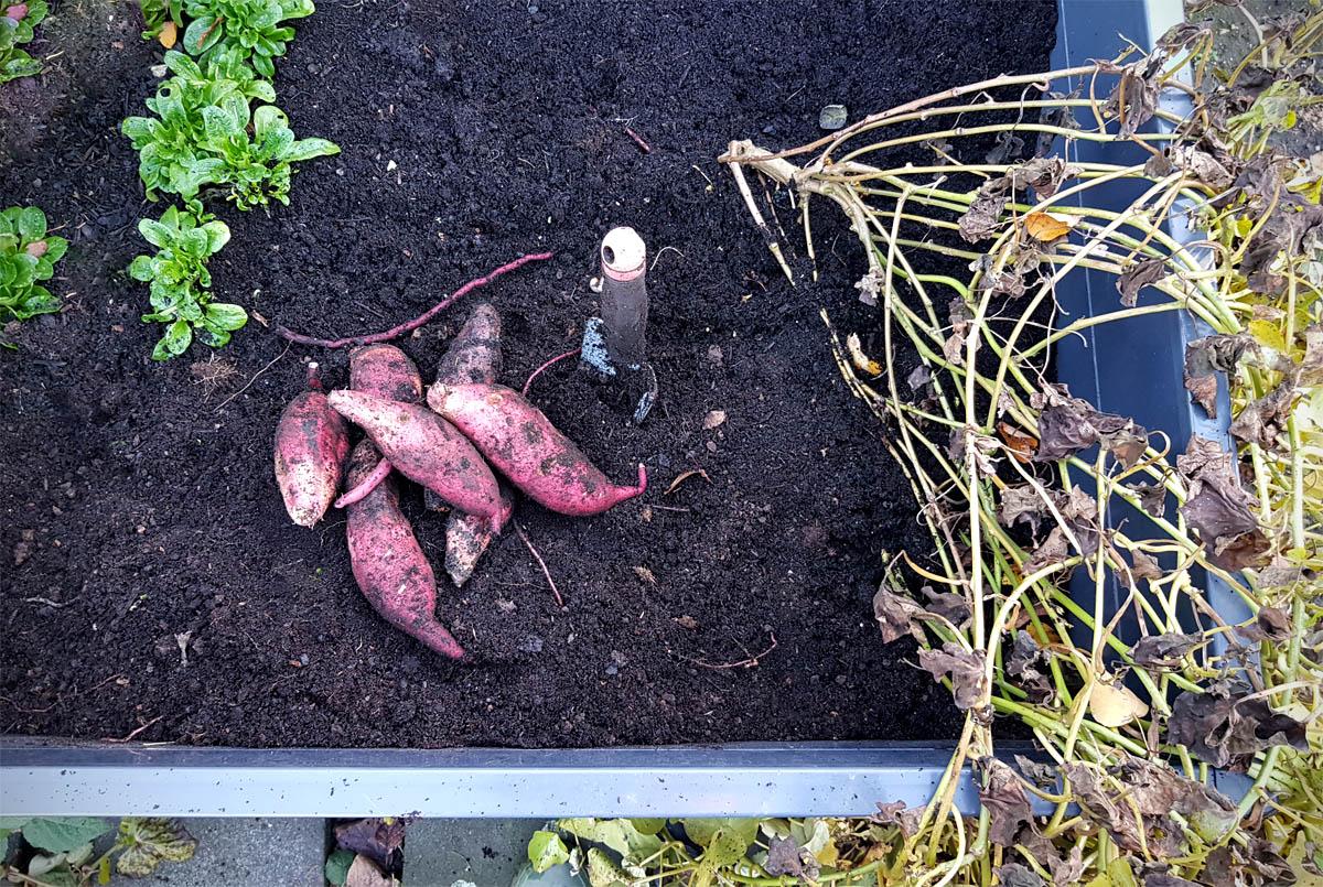 Süßkartoffeln im Hochbeet anbauen