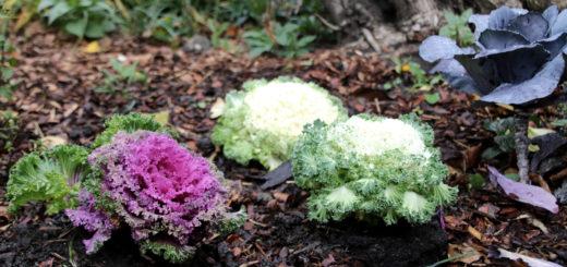 Zierkohl im Staudenbeet und im Gemüsegarten - Genuss für Augen und Gaumen
