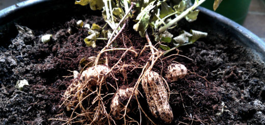 Erdnuss Ernte - Erdnuss im Topf anbauen