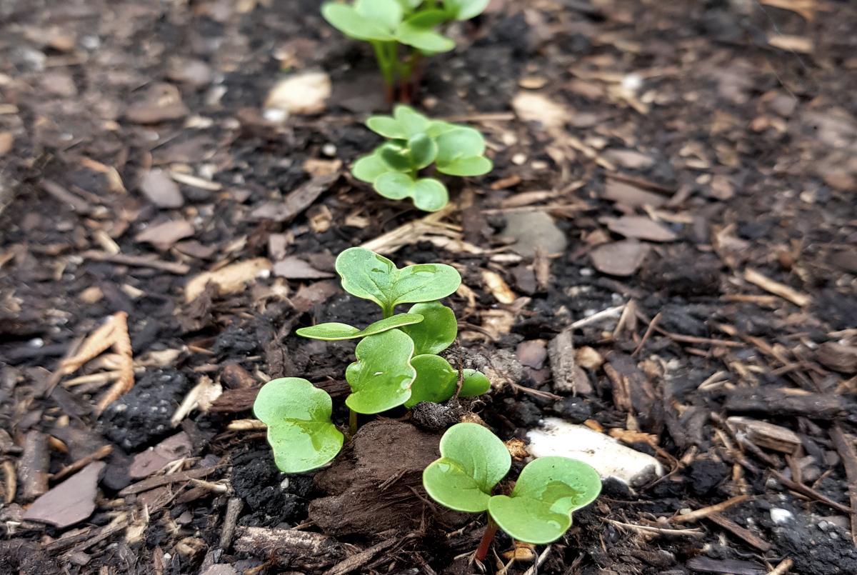 Vorkultur im Gemüsebeet Sortenübersicht