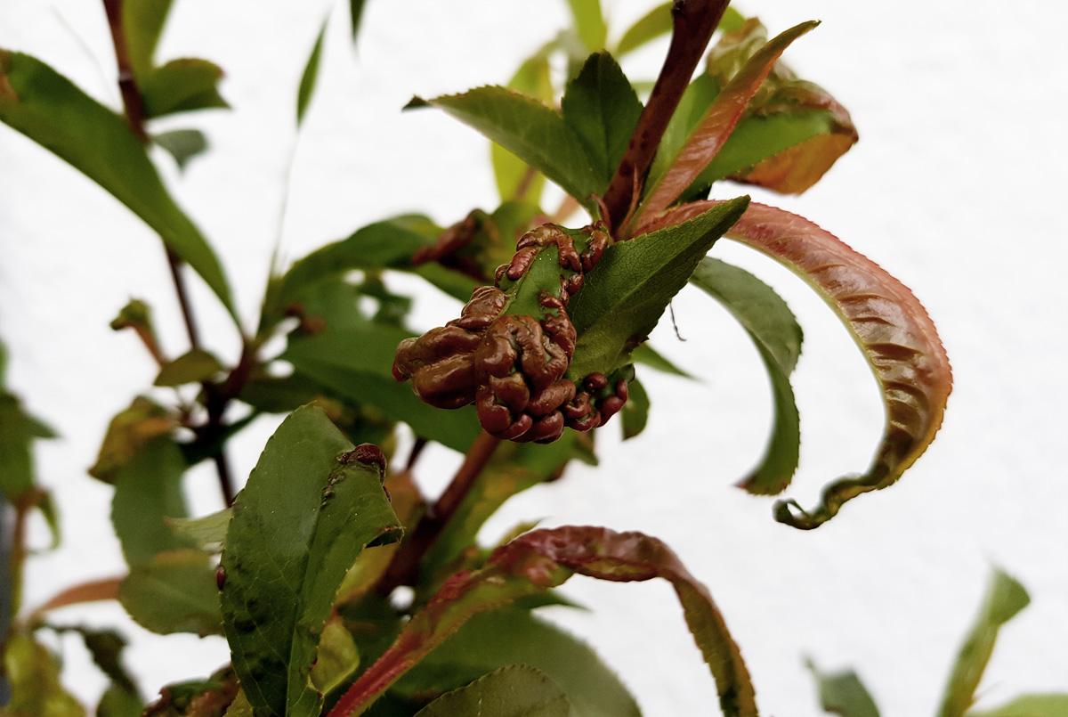 Kräuselkrankheit am Pfirsich