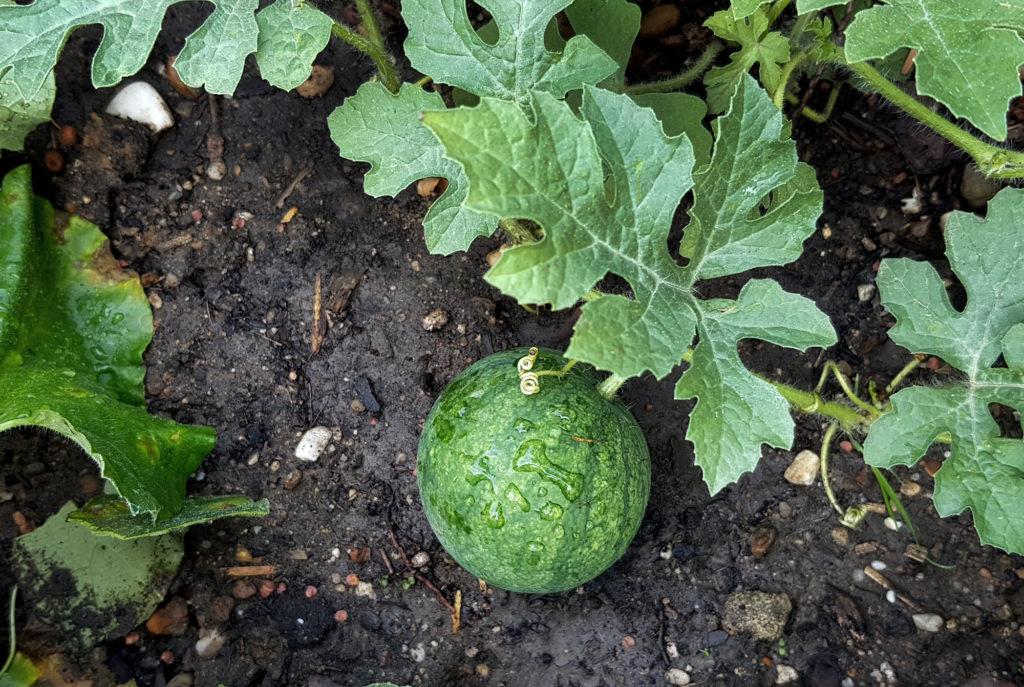 Melone anbauen - Wassermelone Sugar Baby
