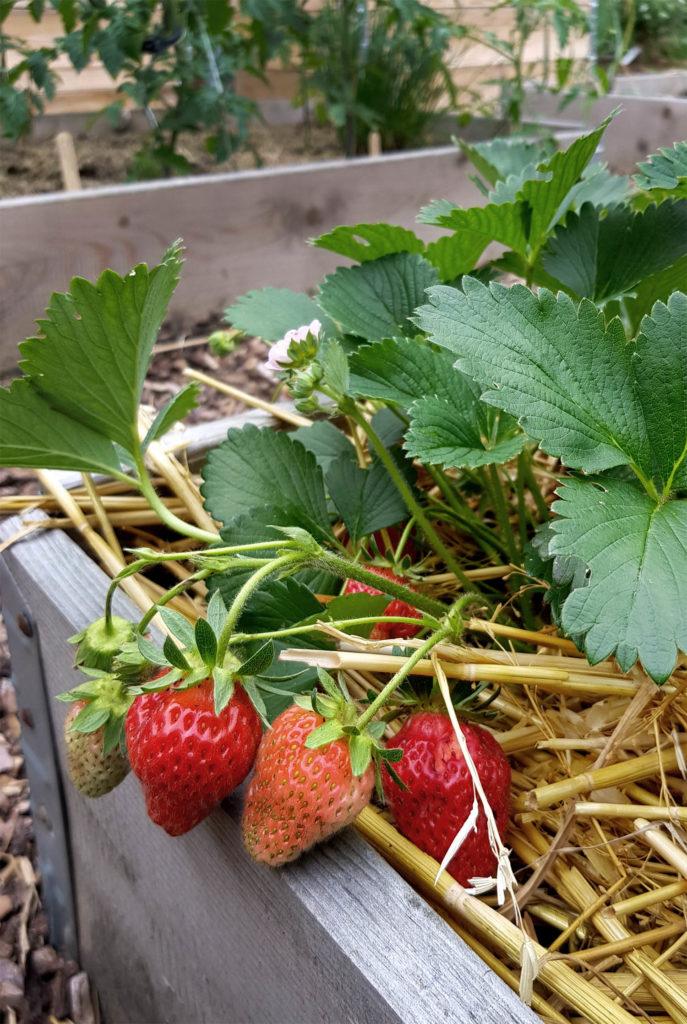 Erdbeeren im Garten - Erdbeeren und Blattläuse